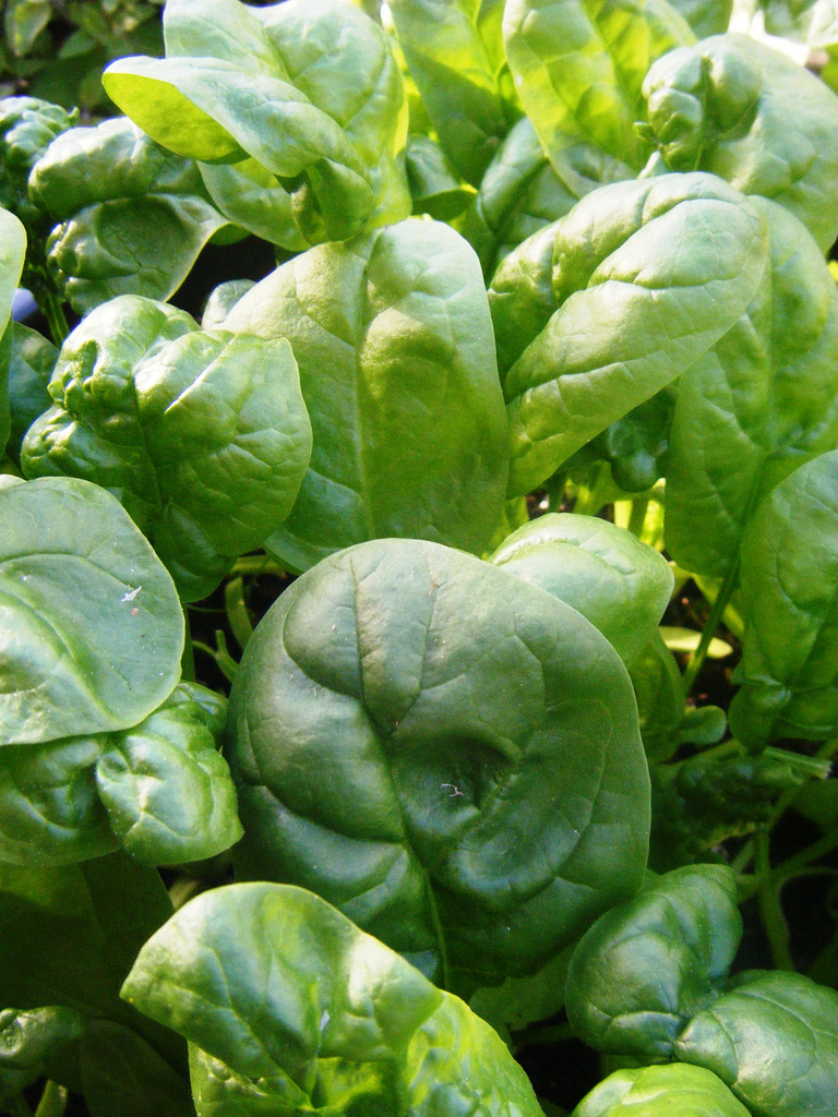 semi-savoy spinach | Be Food Smart